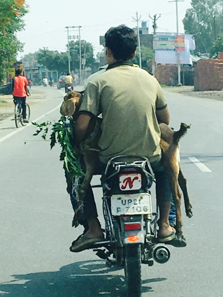 Indian man holding a goat on his motorcycle