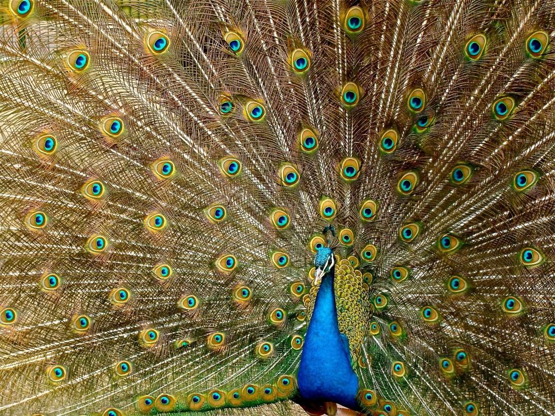 Voluminous Peacock