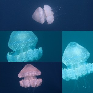 jellyfish sancturay collage