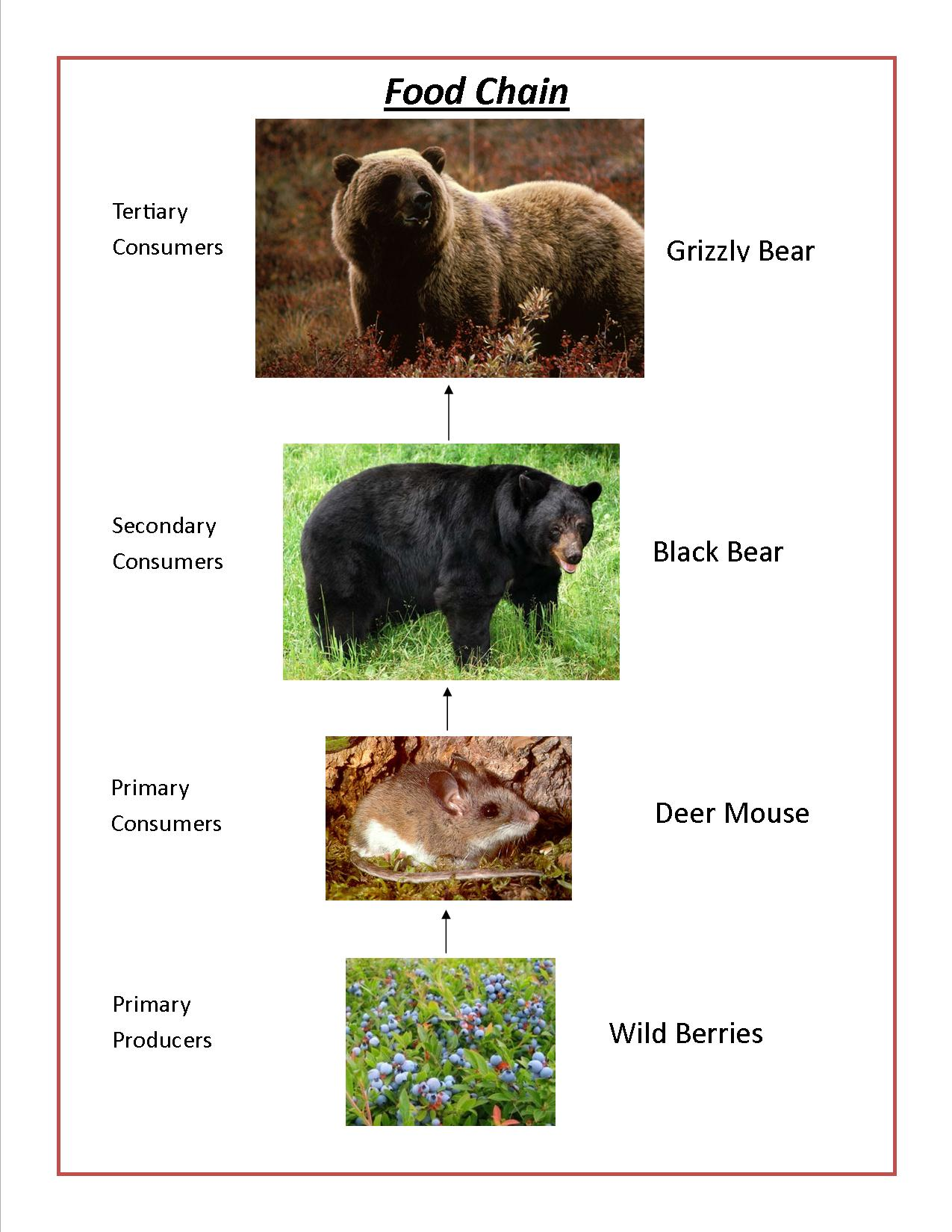 black bear diagram where are my lymph nodes grizzly bears of canada
