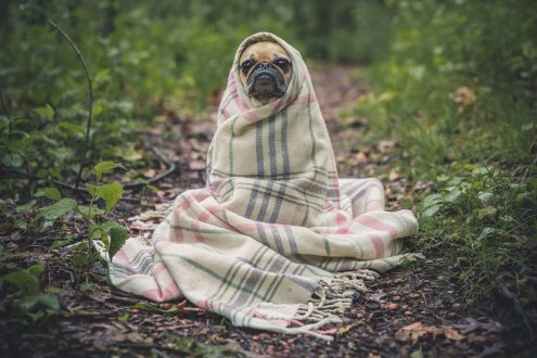 Dog in blanket with the winter blues