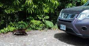 Lots more Coati in the forest. These guys are fearless, they'd walk right onto the road.