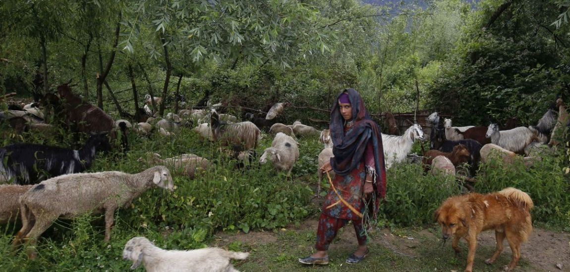 A nomad Bakerwal girl tends to her sheep and goats…