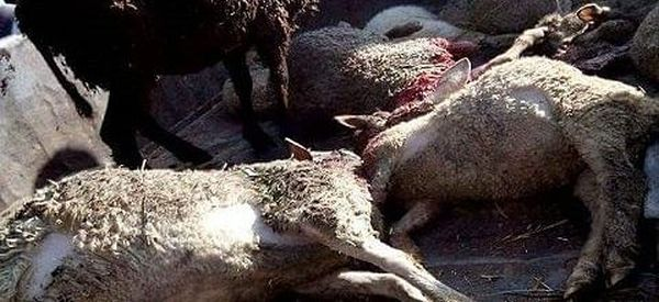 6 sheep killed in leopard attack in Budgam