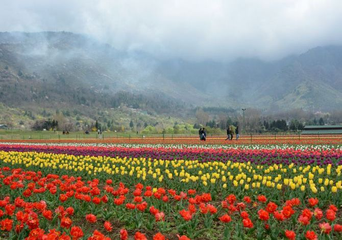 Tulip garden thrown open for visitors in Srinagar
