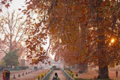 chinar in autumn in kashmir