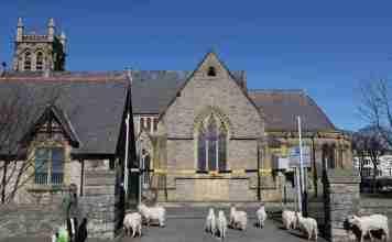 kashmir goats uk