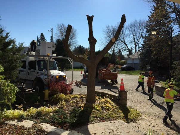 dead tree removal, emerald ash borer,