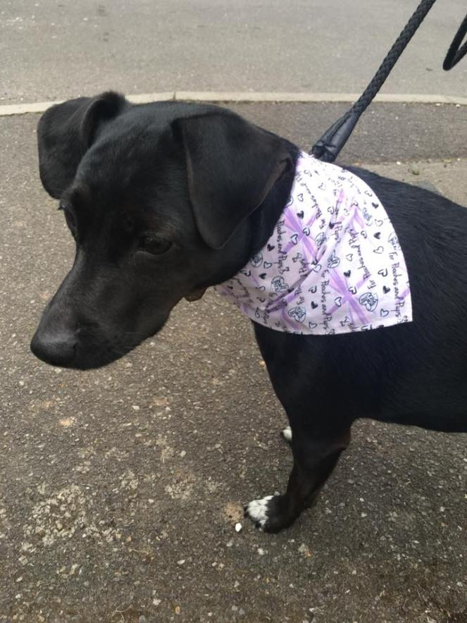 Image of my black dog Trixie wearing a pink bandana. Fact about me