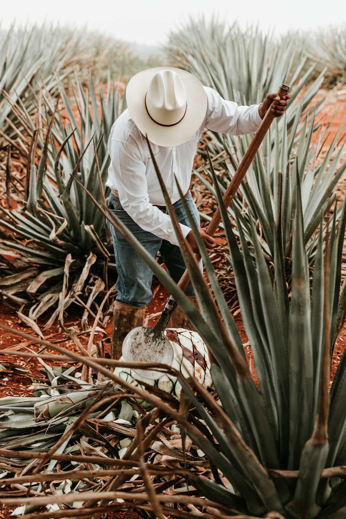 jimador cutting agave