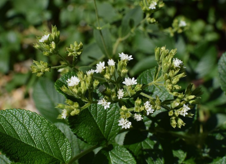stevia plant with blossoms