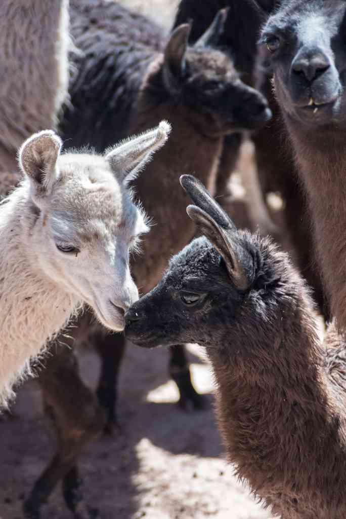 German, Quechua-Aymara farmer in Toledo, near Oruro, supplies AndiArt with fine alpaca, sheep and llama wool yarn
