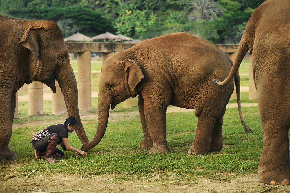 Covid-19 Presents Unique Opportunity To Save Thailand's Elephants From Abuse And Exploitation
