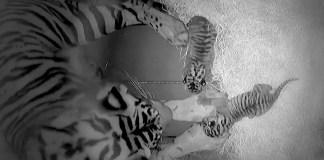 Disney's-animal-kingdom-sohni-sumatran-tigers