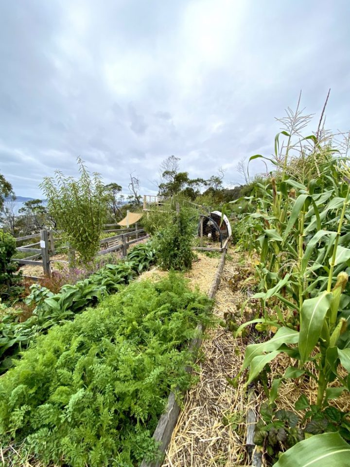 """Long veggie beds full of leafy green veggies and tall stands of corn. The edges of the beds provide a """"track"""" for the chook tractor."""