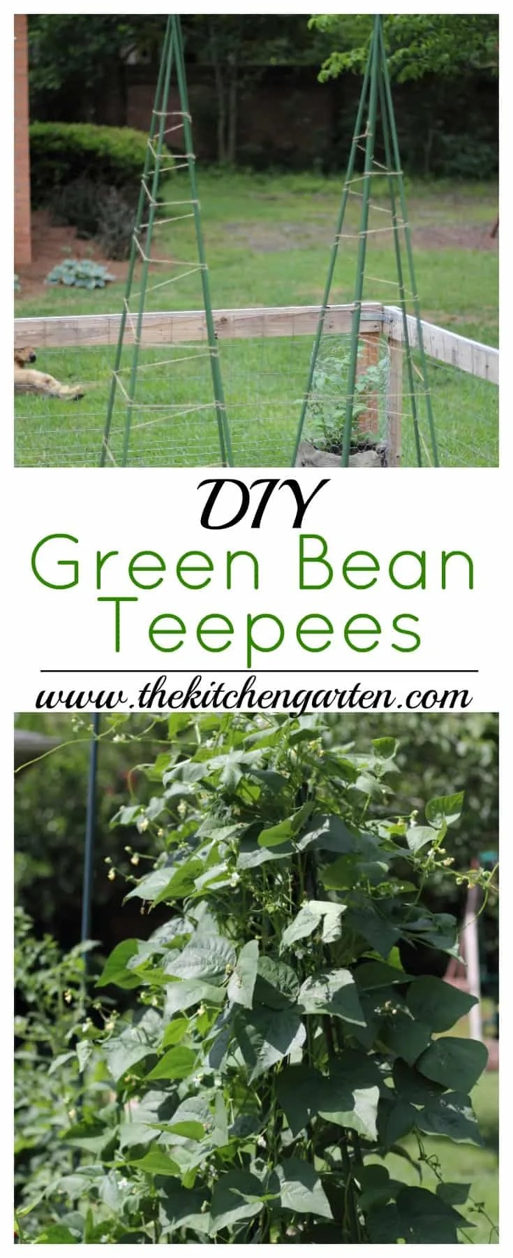 No room in the garden? Grow your beans vertically using these Easy DIY Green Bean Teepees! Beauty and function in your garden space!