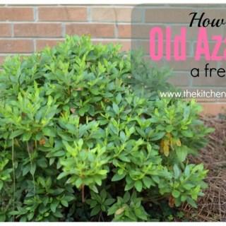 Cutting Back Old Azaleas