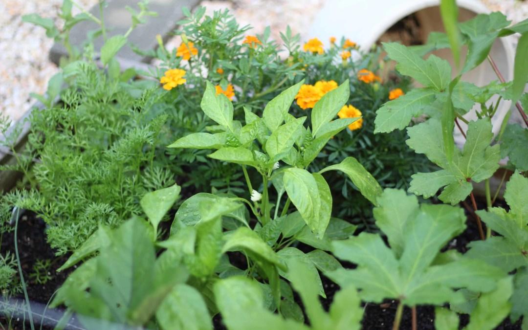 Kitchen Garden Update