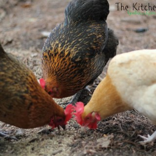 Chicken Drama and Coop Plans