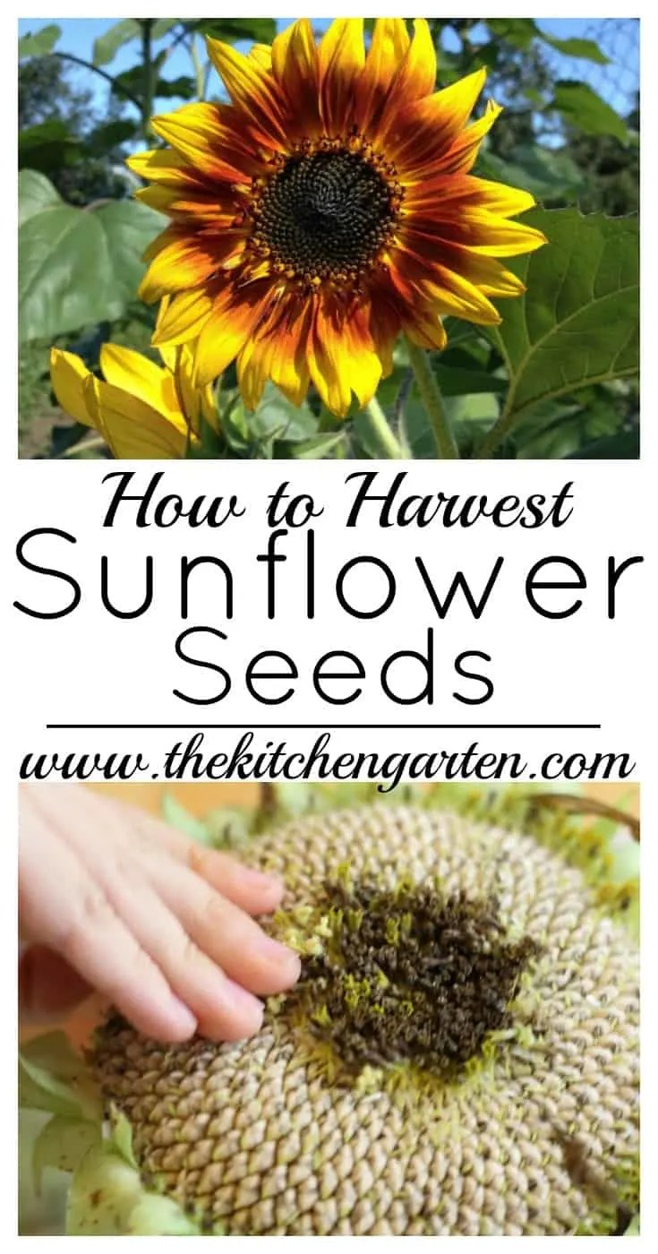 Harvesting sunflower seeds is fun and easy. Find out how! #sunflowers #gardening