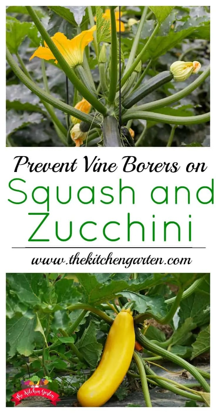 Use these three tips to keep your squash and zucchini from meeting an untimely death. Protect them from vine squash borers and get a better harvest!