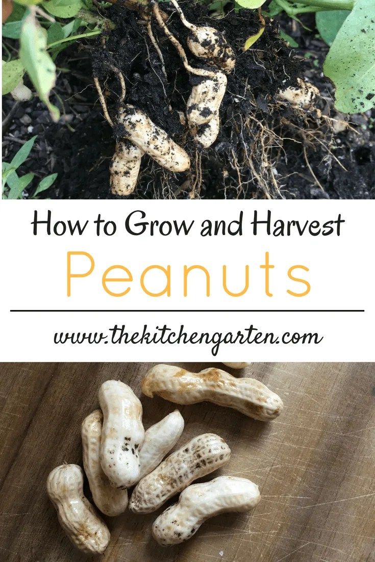 Growing peanuts is simple and can be done in a traditional or raised bed garden. Learn how to grow and harvest peanuts and add them to your home garden this summer! #garden #gardening #peanuts