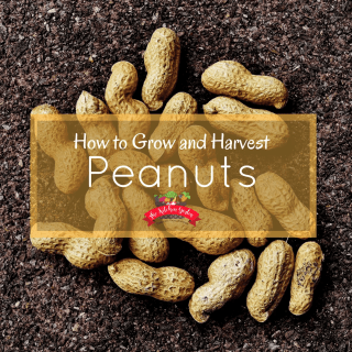 How to Grow and Harvest Peanuts