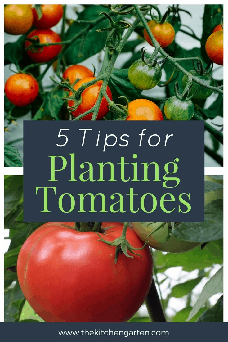 5 Quick Tomato Planting Tips The Kitchen Garten