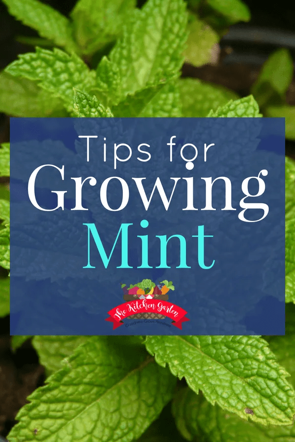 Growing mint is an easy way to bring fragrance, insect control, and an anxiety reducing herb to your garden space, yard, or home. #herbs #mint #garden