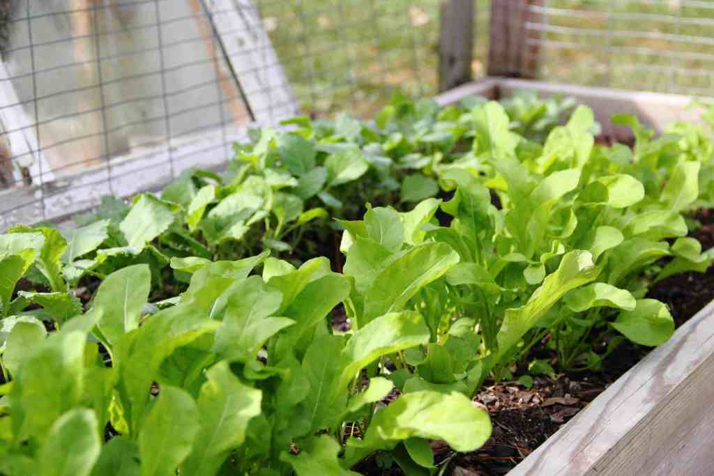 cover crop of collards in wood raised bed garden