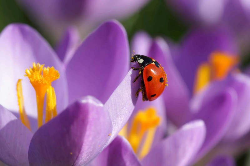purple crocus with ladybug on petal