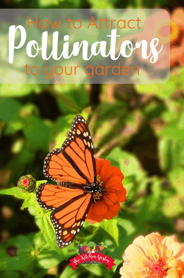 black and orange butterfly on orange zinnia