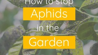 How to Stop Aphids in the Garden