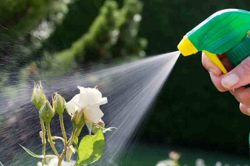milk spray on roses to prevent powdery mildew
