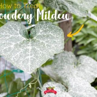 How to Treat Powdery Mildew