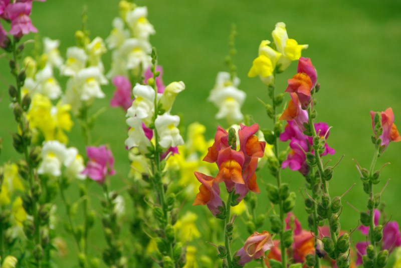 yellow, pink, and orange snapdragons