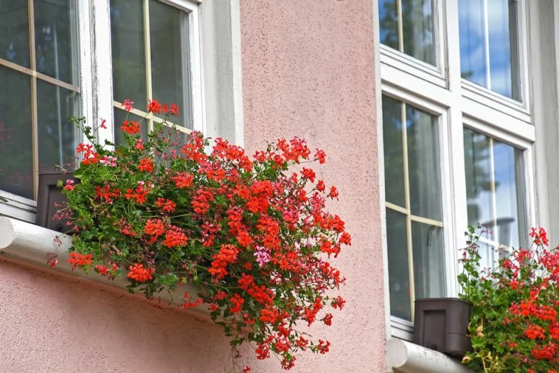 red ivy geraniums flowing from a window box