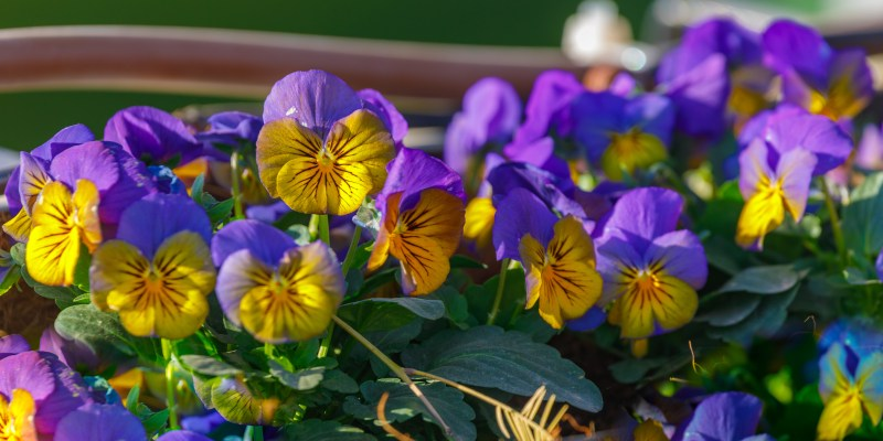 cluster of purple and yellow pansies