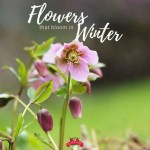 Hellebore blooming in winter