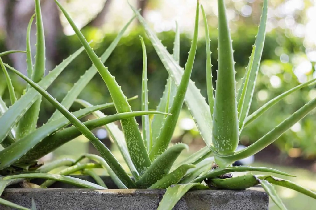 aloe vera plants in a concrete planter