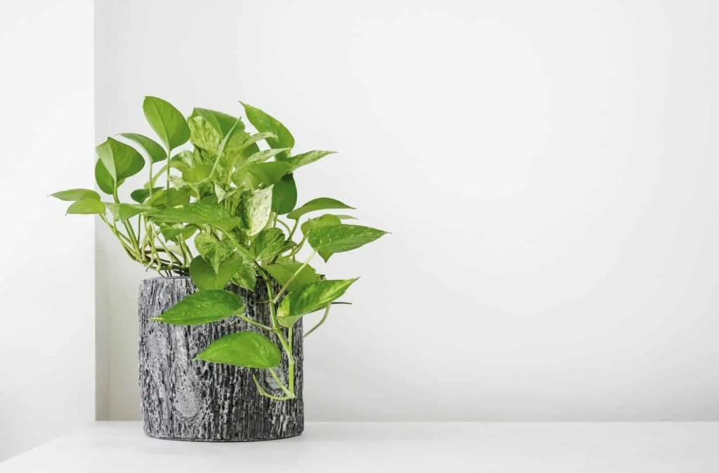 golden pothos plant in planter on white table