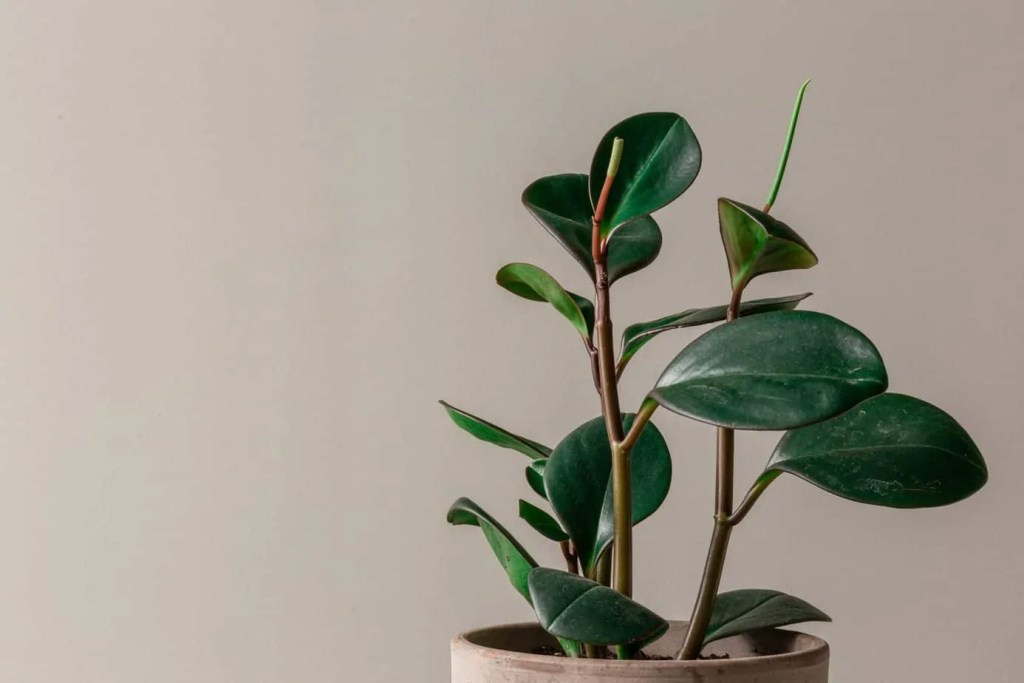 rubber plant against a gray wall