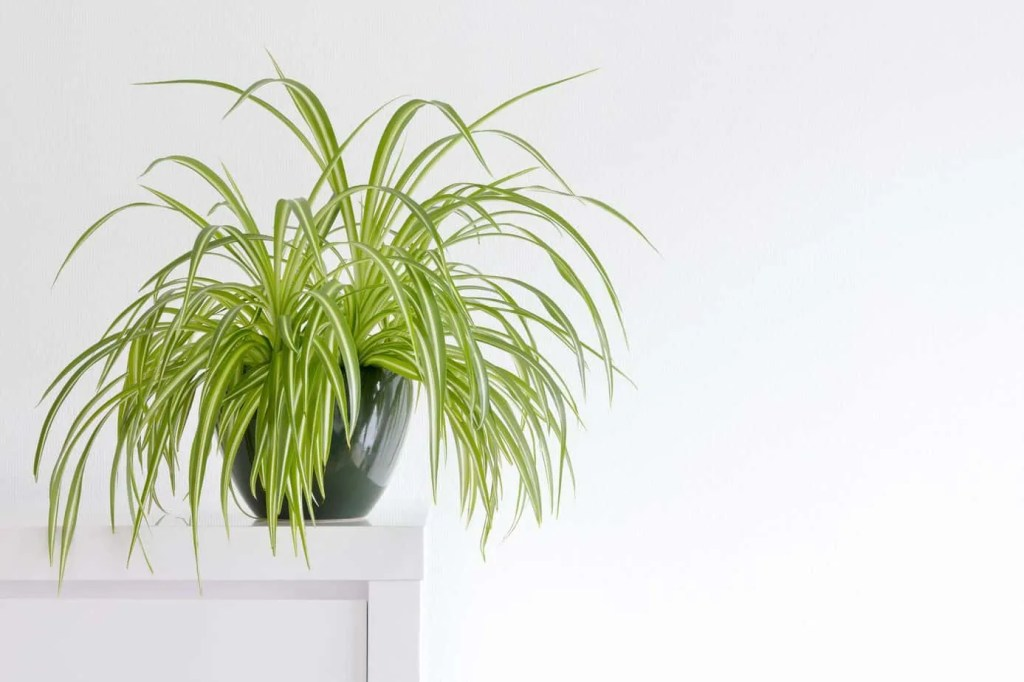 full spider plant in green pot on white cabinet