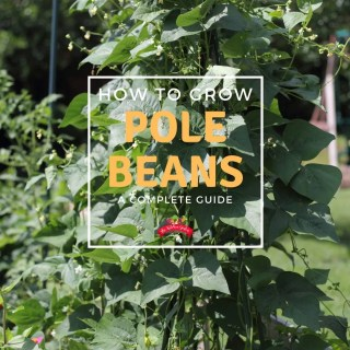 How to Grow Pole Beans