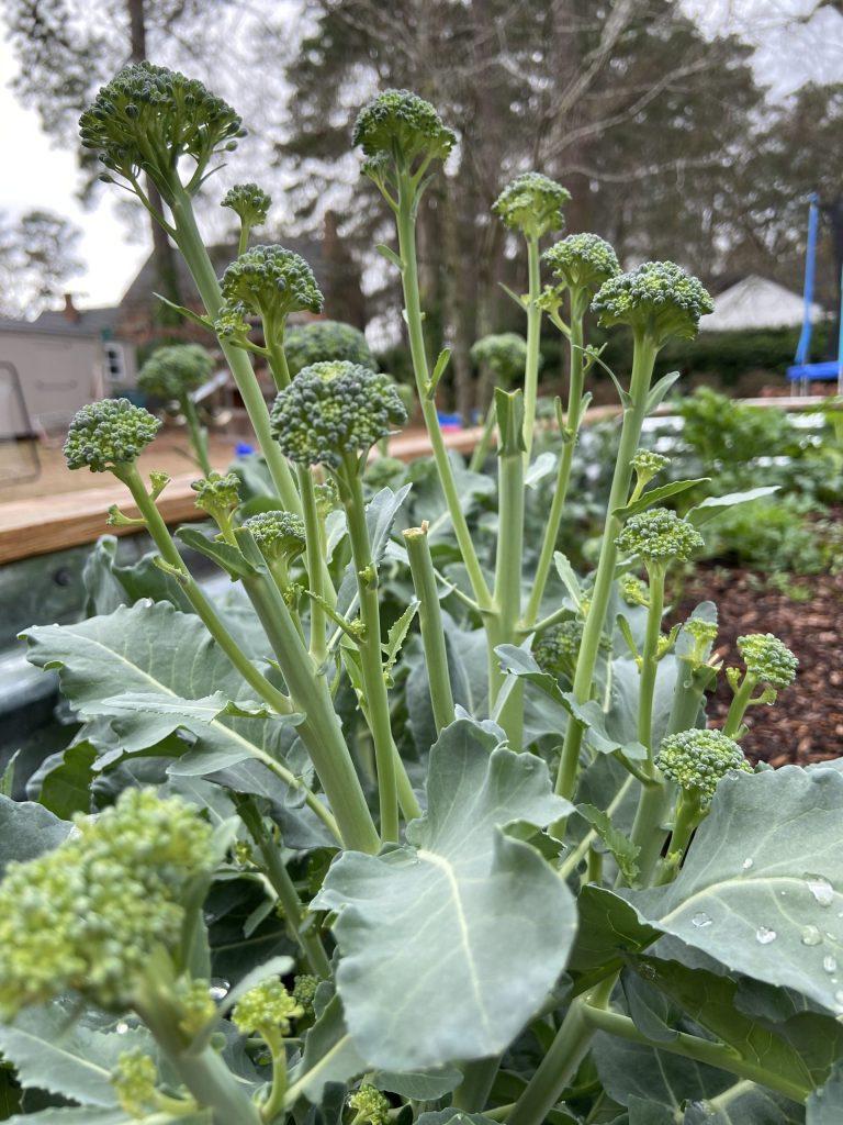 stir fry broccoli in a wood raised bed garden