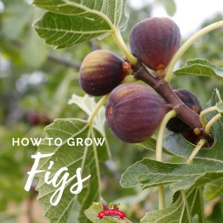 How to Plant, Grow, and Harvest Figs