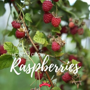 red raspberries on a green plant with blue sky in the background