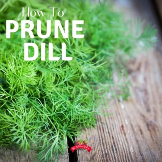 How to Prune Dill