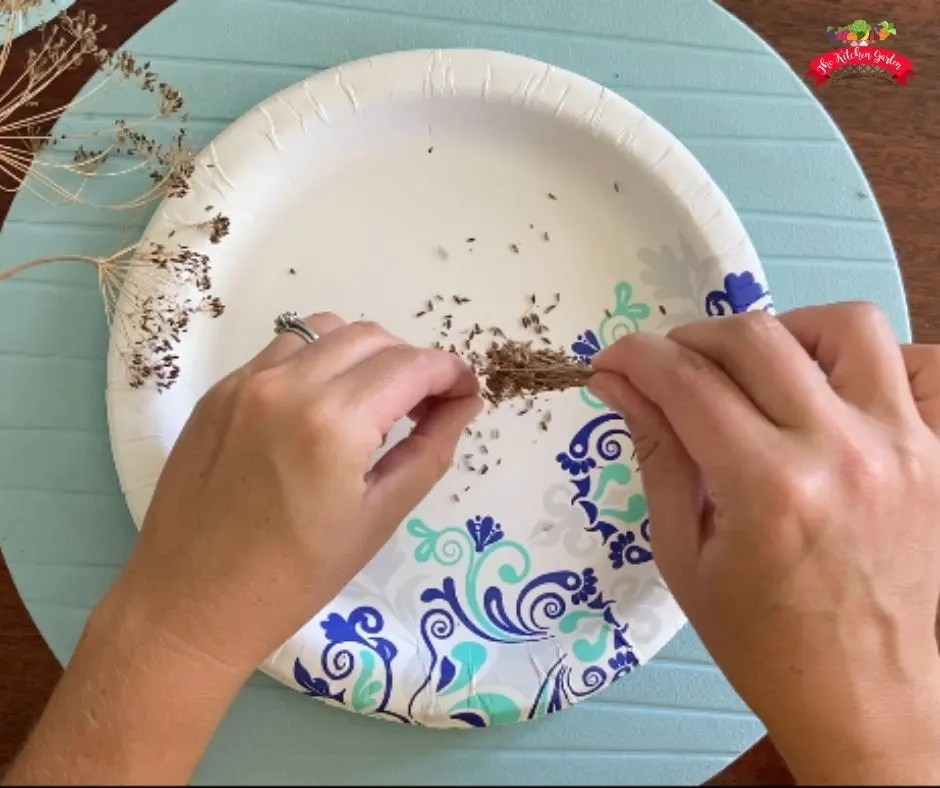 harvesting dried dill seed on a white paper plate with a blue placemat underneath