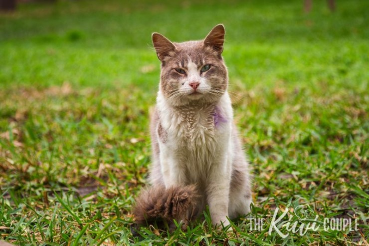 An older grey and white cat looking at the camera. He has purple spray paint on his fur to show he has been neutered.